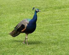 Free Peacock Bird. Stock Photography - 27528492