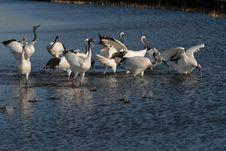 Free Lake Red-crowned Crane Royalty Free Stock Image - 27532876