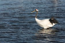 Free Lake Red-crowned Crane Royalty Free Stock Image - 27533536