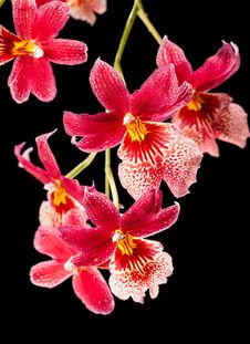 Free Orchid Stock Images - 27533944