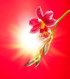 Free Orchid Royalty Free Stock Photo - 27533945