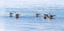 Free Seagulls Stock Images - 27535664