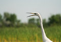 Free Egret Portrait Stock Photography - 27548202