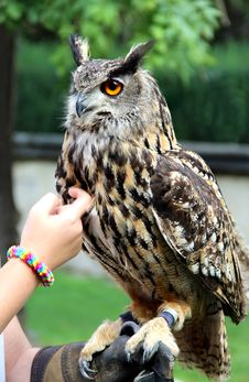 Free Owl Royalty Free Stock Photography - 27541597
