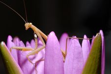 Free Praying Mantis On A Lotus. Royalty Free Stock Photography - 27544137