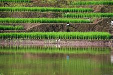 Free Terraced Rice Fields In Northern Thailand Stock Photos - 27545523