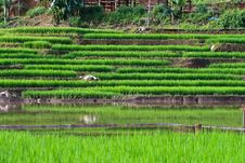 Free Terraced Rice Fields In Northern Thailand Royalty Free Stock Photography - 27545557