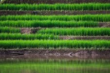 Free Terraced Rice Fields In Northern Thailand Royalty Free Stock Photos - 27545628