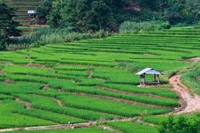 Free Terraced Rice Fields In Northern Thailand Royalty Free Stock Image - 27545686
