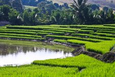 Free Terraced Rice Fields In Northern Thailand Royalty Free Stock Photo - 27545835