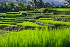 Free Terraced Rice Fields In Northern Thailand Royalty Free Stock Photo - 27545905