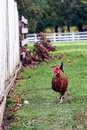 Free Free Range Rooster Royalty Free Stock Photo - 27556595