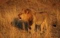 Free Male Lion Roaring 5 Royalty Free Stock Photo - 27558185
