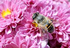 Free Bee With Chrysanthemums Stock Photography - 27551182