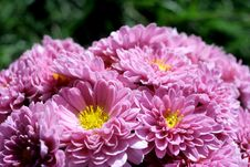 Free Pink Chrysanthemums With Green Background Stock Photos - 27551373