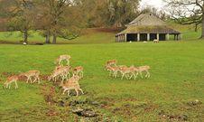 Fallow Deer Doe,s &x28;Dama Dama&x29; Royalty Free Stock Image