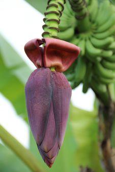 Free Banana Blossom Royalty Free Stock Photo - 27552985