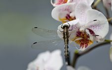 Free Dragonfly On Orchid Stock Photography - 27556142