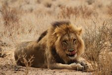 Free Male Lion Lying Down Royalty Free Stock Images - 27556229