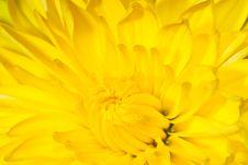 Free Chrysanthemum Flower Macro Photo Stock Photo - 27558400