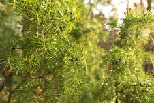 Free Juniper Branches Royalty Free Stock Photo - 27558765