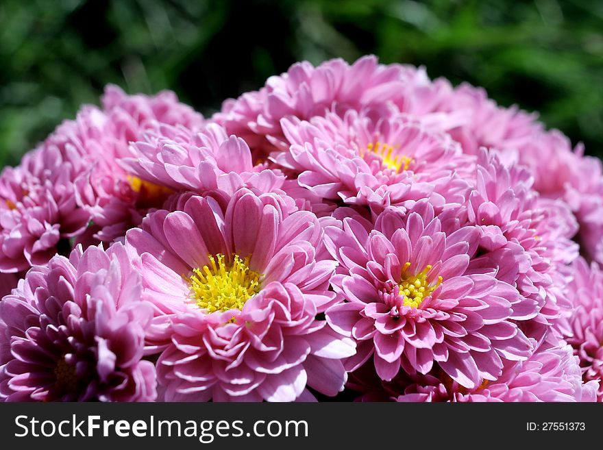 Pink chrysanthemums with green background