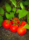 Free Tomato Patch Garden Stock Photography - 27560132