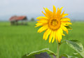 Free Close Up Sunflower Stock Images - 27567984