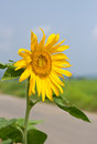 Free Close Up Sunflower Stock Images - 27568134