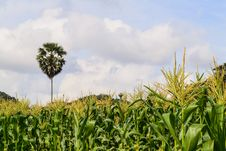 Free Corn Field Royalty Free Stock Image - 27563656