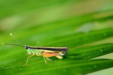 Free Colorful Grasshopper. Royalty Free Stock Photo - 27565905