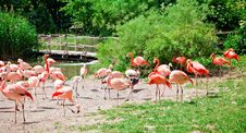 Free Flock Of Pink Flamingo Royalty Free Stock Photography - 27565997