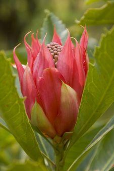 Free Tulip Like Waratah Royalty Free Stock Photography - 27566437