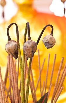 Free Dry Lotus Flower Stock Photos - 27567633