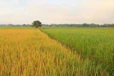 Free The Rice Fields In Thailand. Royalty Free Stock Photos - 27569228