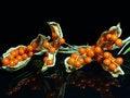 Free Stinking Iris Pods Royalty Free Stock Photos - 27578498