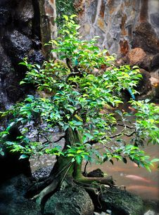 Free Bonsai Tree Stock Images - 27574134