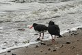 Free Oystercatchers On Beach Stock Image - 27584701