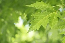 Free Green Maple Leaf - Narrow Depth Of Field Royalty Free Stock Photography - 27581427