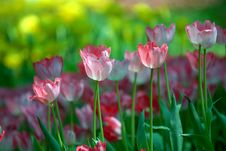 Free Pink And White Tulips. Royalty Free Stock Images - 27582729