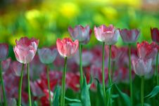 Free Pink And White Tulips. Royalty Free Stock Photography - 27582747