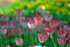 Free Pink And White Tulips. Stock Images - 27582884