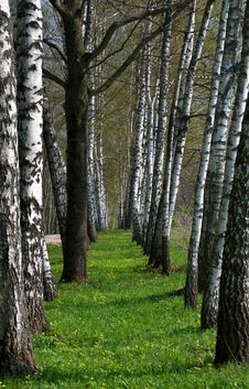 Free Birch Tree Alley Royalty Free Stock Images - 27583219