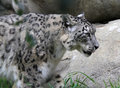 Free Snow Leopard Stock Images - 27599074