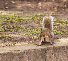 Free Feisty Squirrel Stock Photo - 27593030