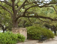 Free Live Oak Tree Stock Photography - 27593062
