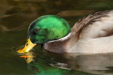 Free Duck Stock Photography - 27599002
