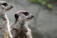 Free Meerkats Stock Photos - 27599263