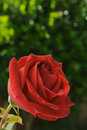 Free Close-up Of Blooming Rose Stock Photo - 2763550