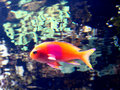 Free Orange Fish With Pink Spot Royalty Free Stock Photos - 2766798